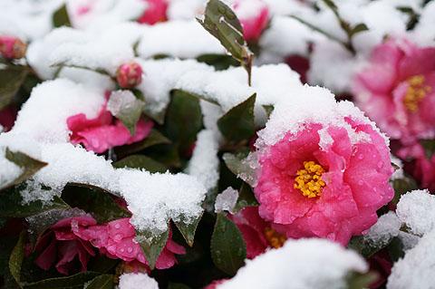 雪に埋もれる花